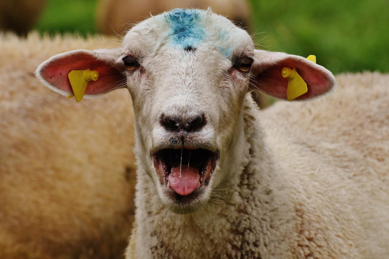 Картинки смешной овцы, новогодний