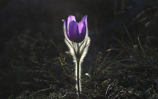 Pasqueflower, Květina, Pasque Flower