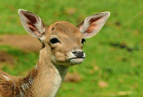 Roe Deer Fawn Kitz Young Deer Wild Bambi F