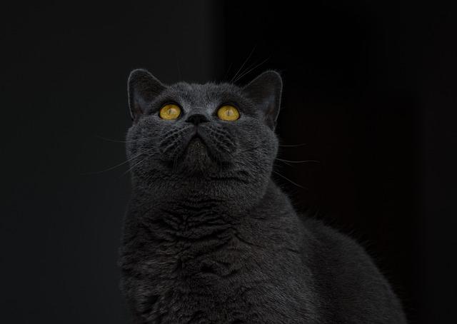 british shorthair cat grey 183 free photo on pixabay