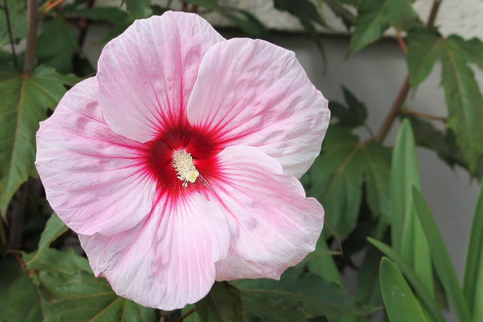 free photo hibiscus, giant hibiscus, pink  free image on pixabay, Beautiful flower