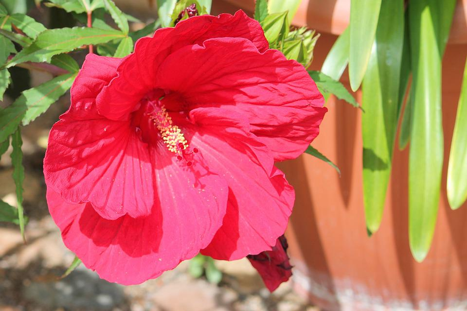hibiscus free images on pixabay