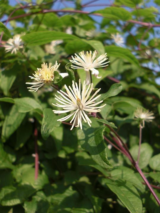 clématite fleur de bach bach fleur nature