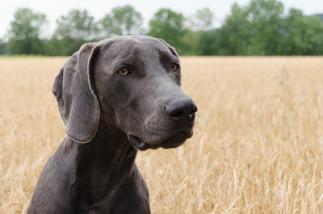 Dog Weimaraner Head &#...