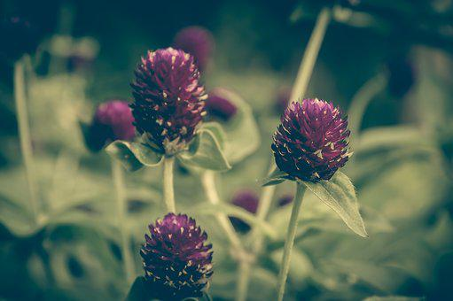 Clover, Vinous, Color, Vintage, Flower