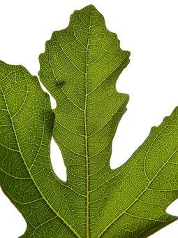 Fig Leaf, Backlight, Fig Tree, Leaf