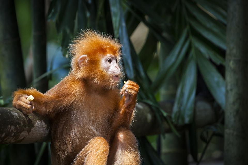 Download 67+ Gambar Monyet Merah Paling Bagus Gratis