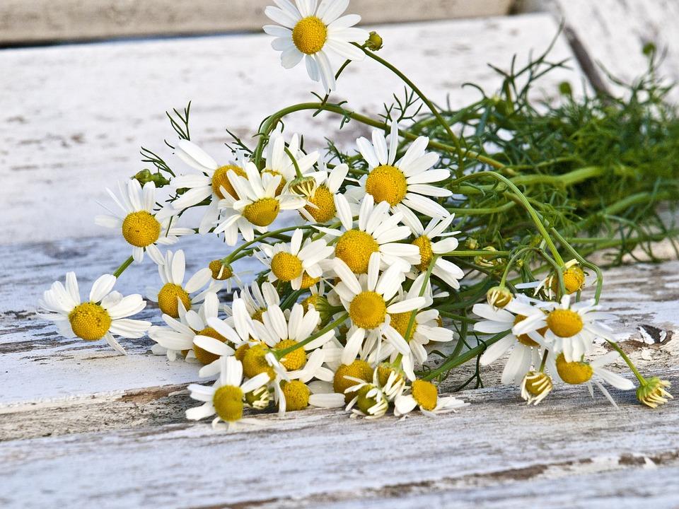 https://cdn.pixabay.com/photo/2016/08/12/19/09/chamomile-1589449_960_720.jpg
