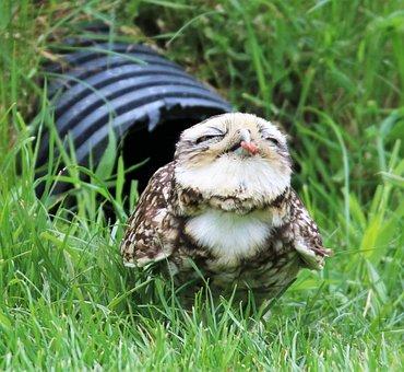 Burrowing Owl, Small Owl, Owl, Burrowing