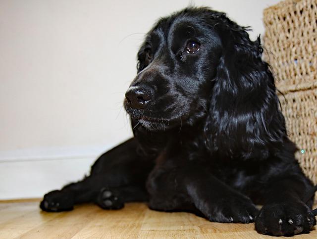 Фото черных щенков английского кокера спаниеля
