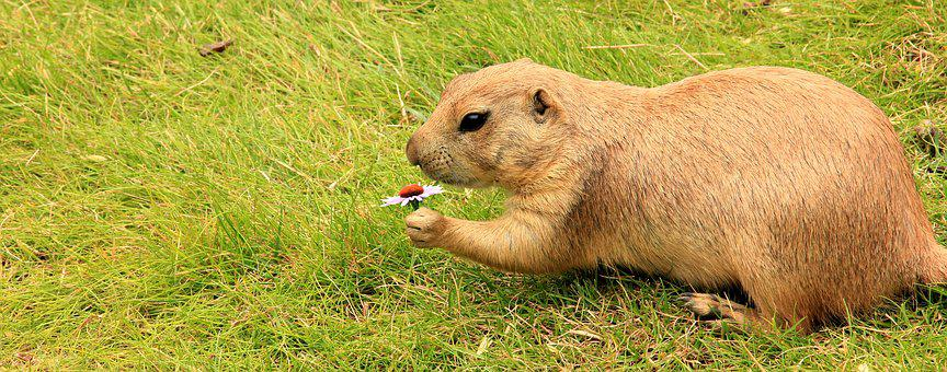 Prairie Dog, Gophers, Marmot, Rodent
