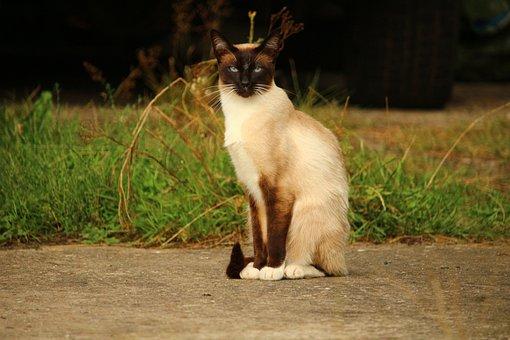 Kucing, Mieze, Kucing Siam, Siam