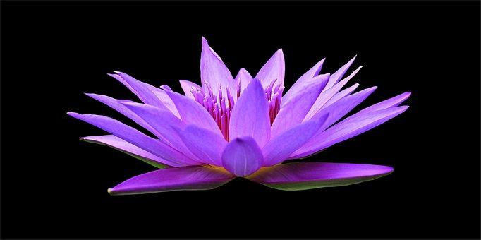 Водяная Лилия, Nuphar Lutea, Акватическое Растение