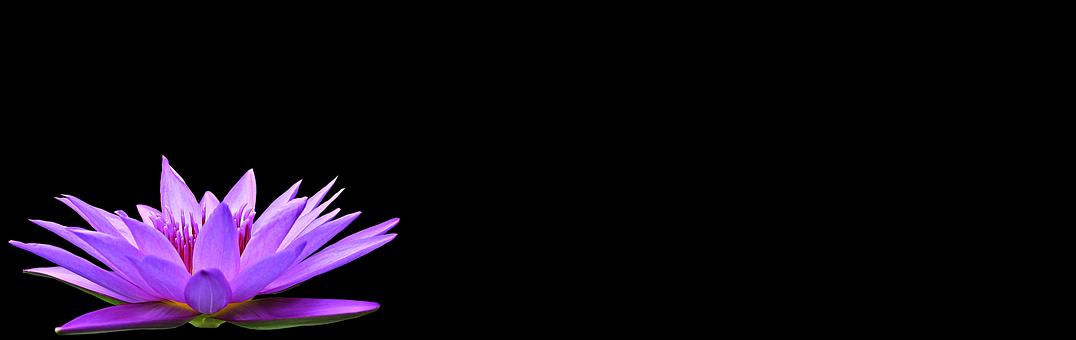 Nénuphar, Nuphar Lutea, Plante Aquatique
