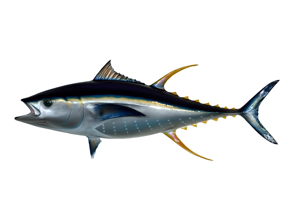 yellow fin tuna fish taxidermy mounted isolated