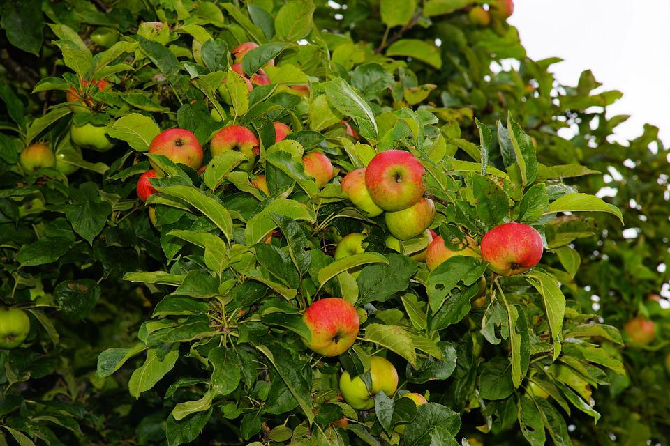 free photo apple tree, apple, fruit, tree  free image on pixabay, Beautiful flower