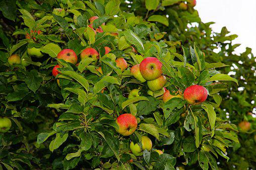 Apple Tree, Apple, Fruit, Tree, Fruits