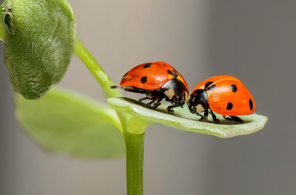 Ladybugs, Έντομα, Ζεύγος, Σκαθάρια Πασχαλίτσα, Σκαθάρια