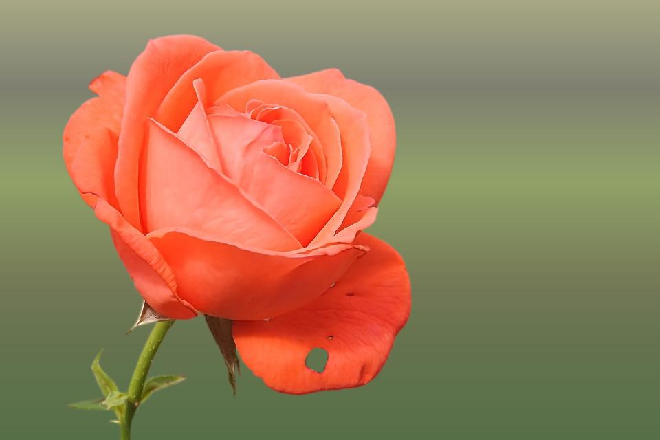 Free photo Rose Orange Salmon Rose Blooms Free Image on