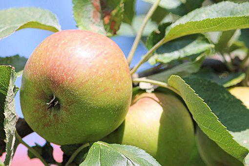 500 Gambar Daun Pohon Apel Daun Gratis Pixabay