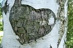 birch, tree, bark