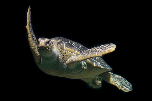 Turtle Green Sea Ocean Animal Wildlife Und
