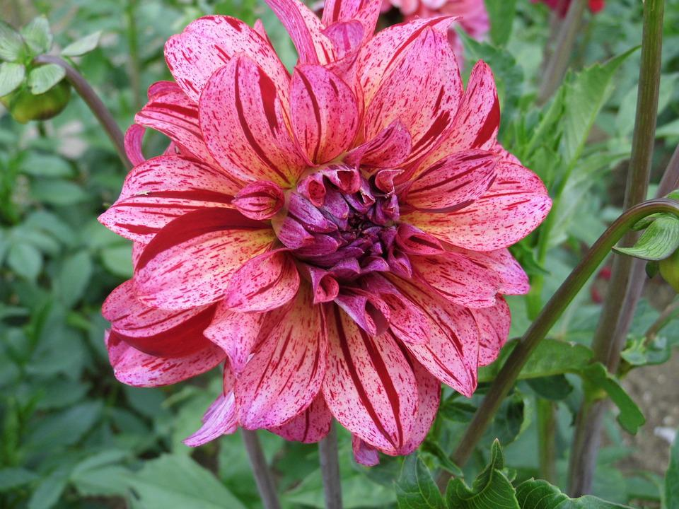 Dahlia Rose Bicolore Photo Gratuite Sur Pixabay