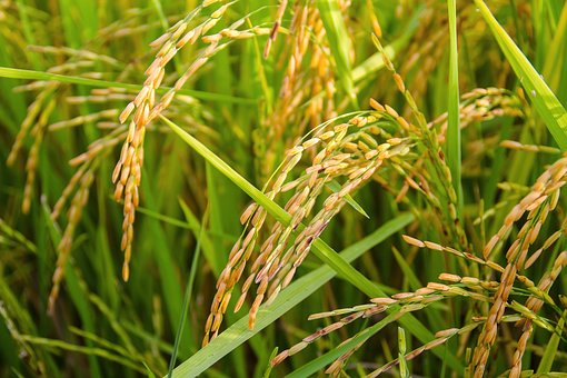 Китайские ученые проведут эксперимент по выращиванию риса в морской воде