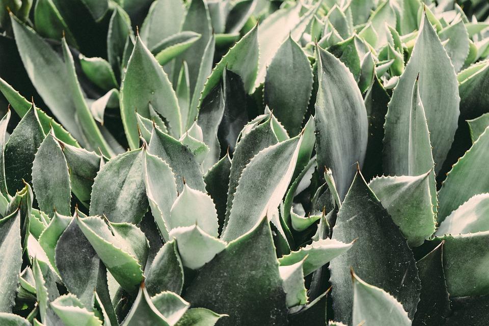 free photo plants cactus cacti botanical free image. Black Bedroom Furniture Sets. Home Design Ideas