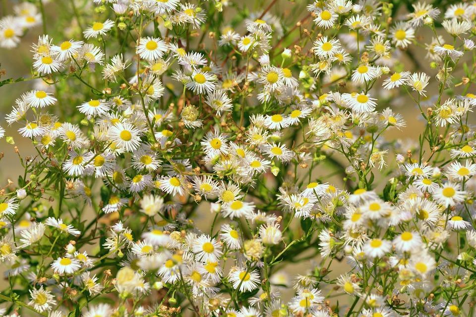Daisy garden shrub white free photo on pixabay daisy garden shrub white flowers pointed flower mightylinksfo