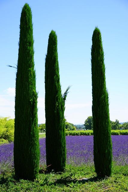 free photo  cypress  lavender field  lavender - free image on pixabay