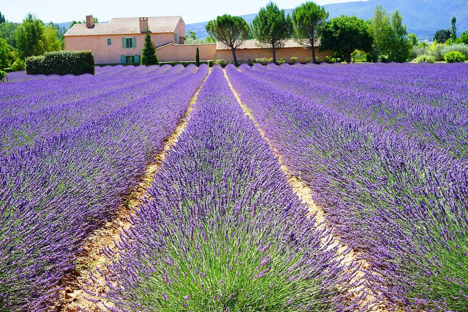 Image result for field of lavender