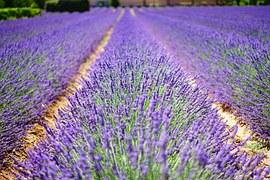 Lavender Flowers, Blue, Flowers