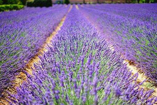 lavender  free images on pixabay, Beautiful flower
