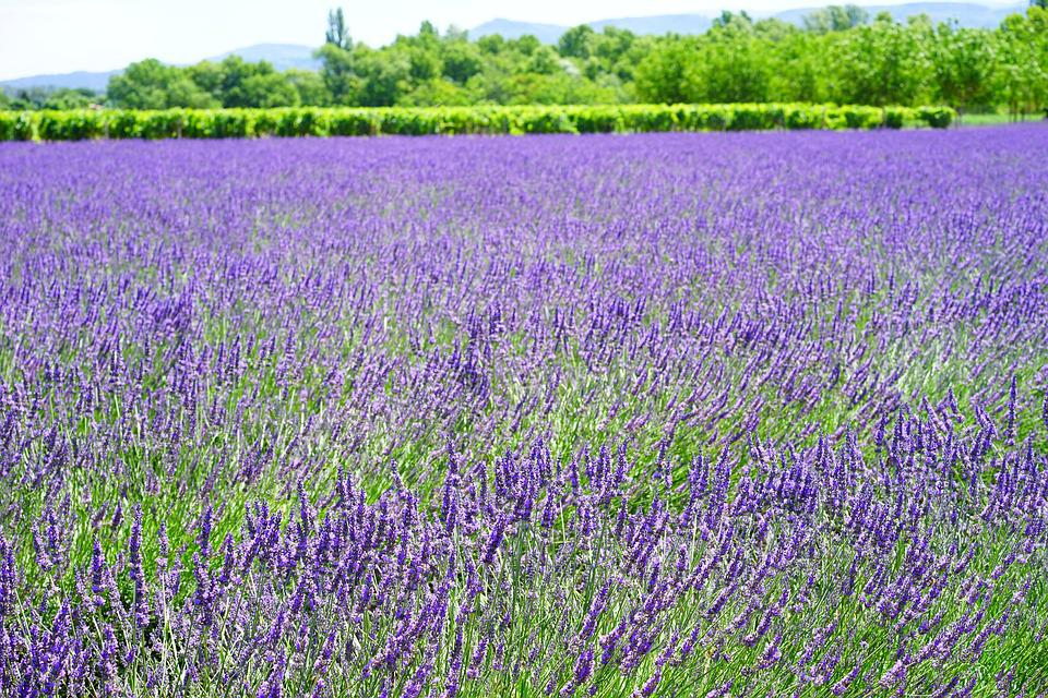 lavender, flowers  free images on pixabay, Beautiful flower