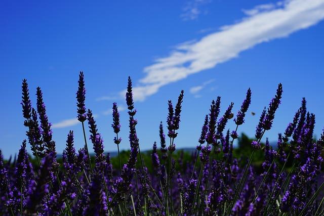 free photo lavender flowers, flowers, purple  free image on, Natural flower