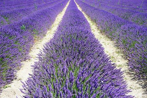 Lavender Field, Lane, Away