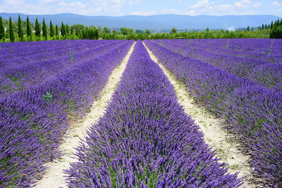 free photo lavender field, lane, away  free image on pixabay, Beautiful flower