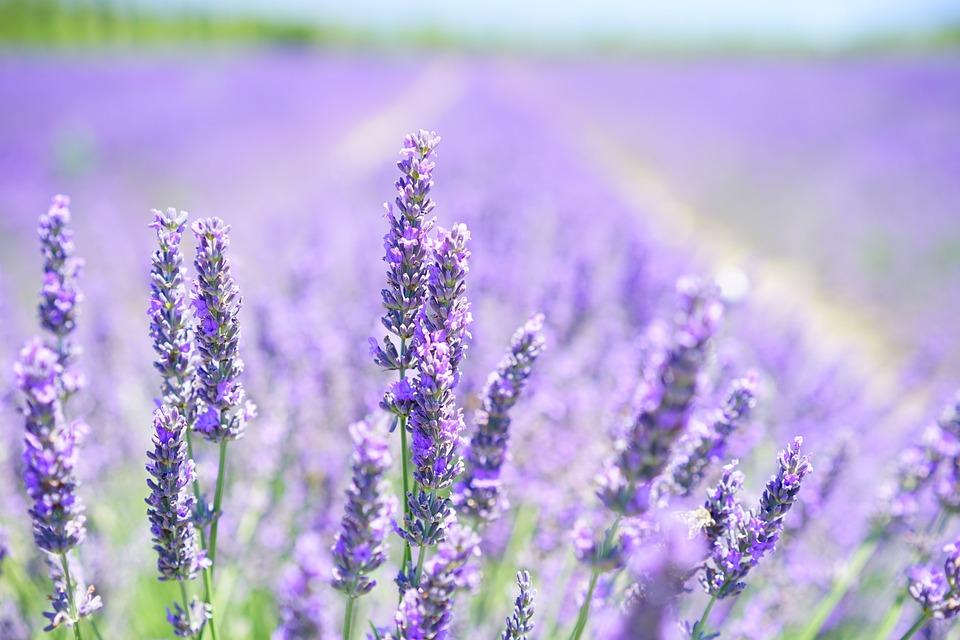 Lavender, Bunga Bunga, Lapangan, Bloom, Mekar, Tanaman