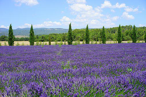 Lavender Field, Cypress, Avenue