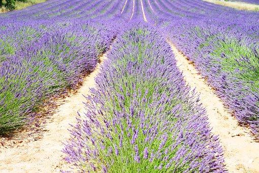 Lavender, Lavender Field
