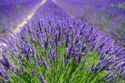 Lavender Field, Flowers, Purple, Flora
