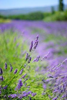 Lavender Field, Flowers, Purple, Flora