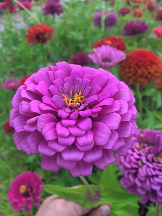 Flowers Dahlia Pink Red Free Photo On Pixabay