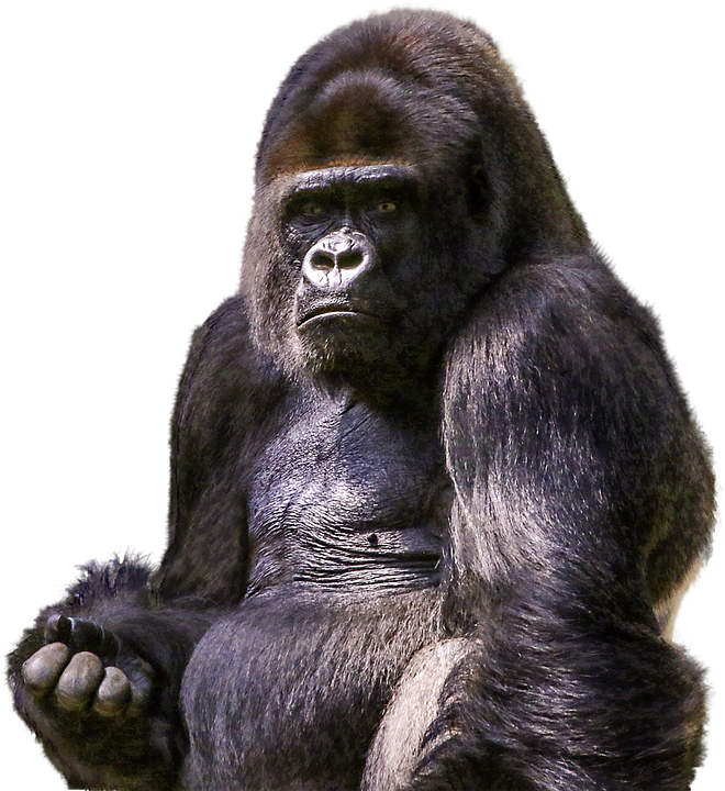 free photo gorilla  primate  animal  wild  zoo free pet clipart black and white pet clipart black and white free