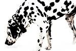 dalmatian, dog, snow