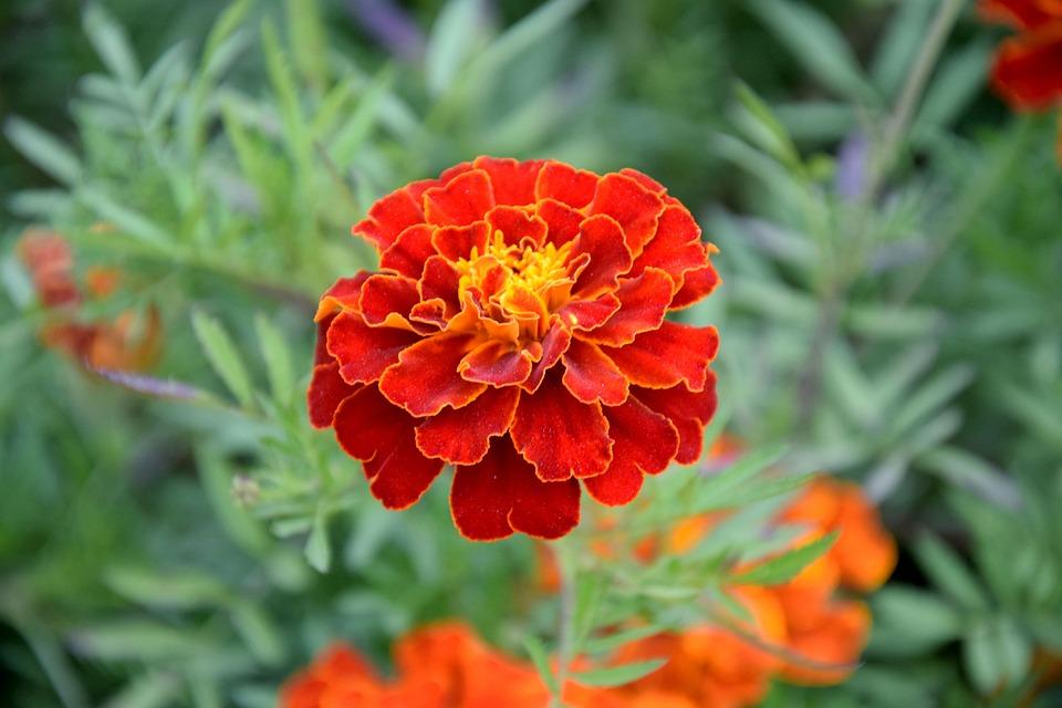 Fleur Souci Turc Photo Gratuite Sur Pixabay