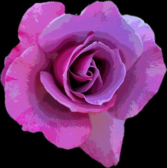 Purple Flower Clipart No Background: Free Illustration: Rose, Purple, Blossom, Bloom