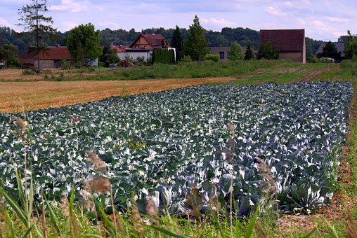 Cabbage, Cabbage Field, Agriculture