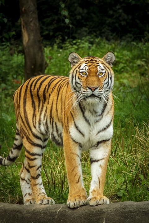 Free photo: Panthera Tigris Altaica, Tiger - Free Image on Pixabay ...